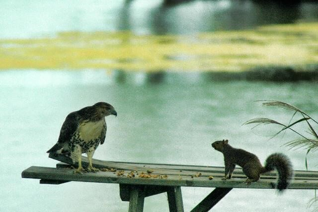 Hawk vs. Squirrel