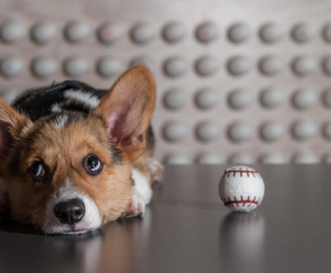 office-dogs-corgi-puppy